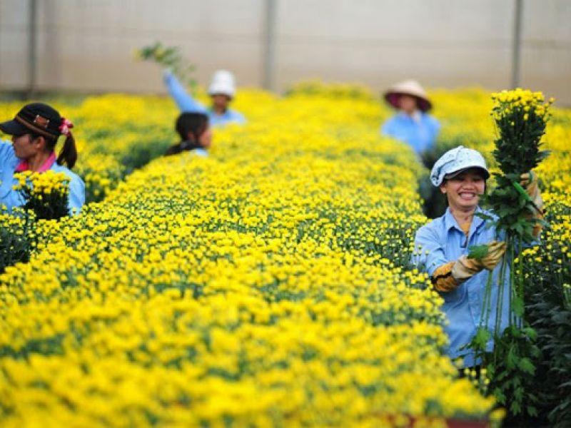 Tuyển 2 Nữ trồng và Chăm sóc hoa Cúc trong Nhà Kính