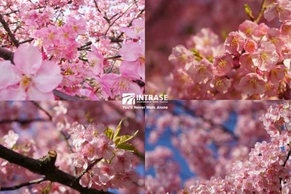 hoa anh đào Kawazuzakura